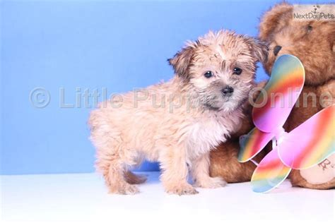 yorkie poo wisconsin yorkie poo puppies for sale in wisconsin breeds picture