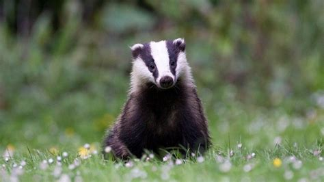 Badger Cull Petition by Petition 183 Stop The Badger Cull 183 Change Org