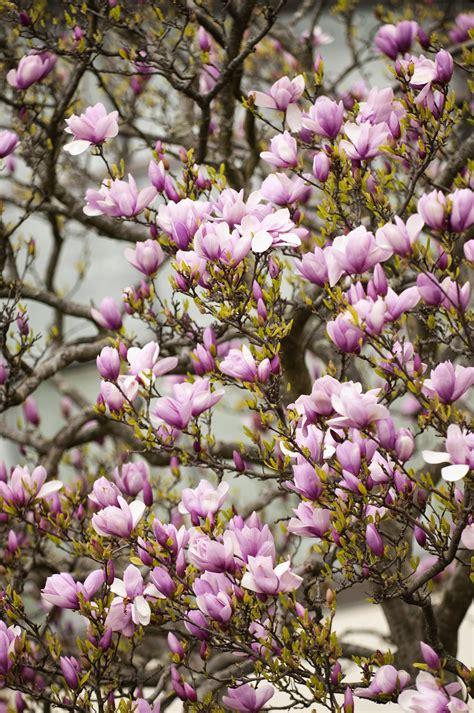potted magnolia trees   grow specimens  pots