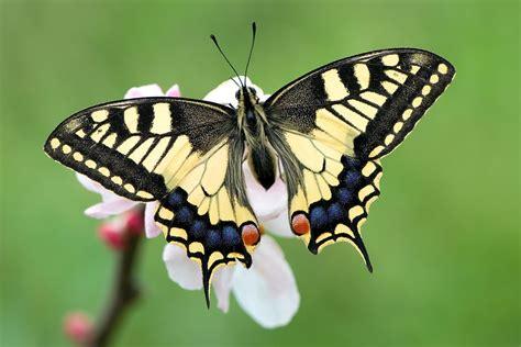 imagenes con mariposas bonitas las 12 mariposas m 225 s lindas e impresionantes del mundo