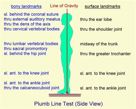 Meaning Of Plumb Line by Kinesiology Glossary