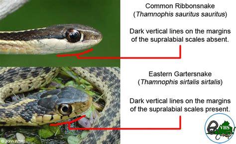 Garter Snake Vs Copperhead Eastern Gartersnake