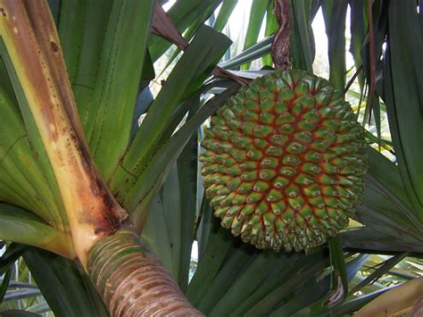 what is a of fruit trees called pandanus