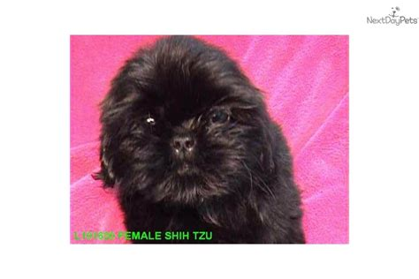 all black shih tzu for sale meet midnight a shih tzu puppy for sale for 995 all black shih tzu w