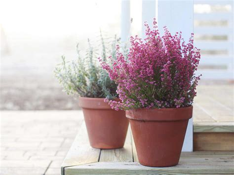 Small Flower Pot by Growing Winter Flowering Heathers Saga
