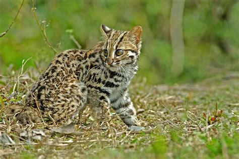 cat cat leopard cat international society for endangered cats