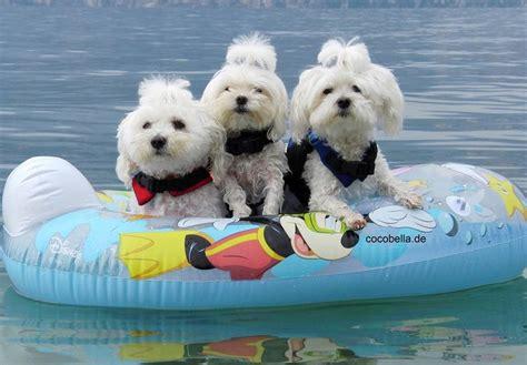 maltese dog images  pinterest maltese dogs