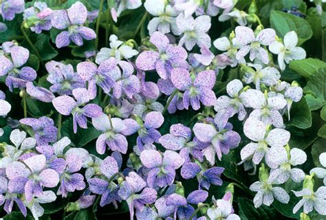 best purple cover ground cover flowers www pixshark images galleries