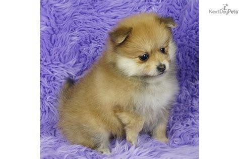 baby doll pomeranian for sale pomeranian puppy for sale near springfield missouri a5ef25b0 6aa1