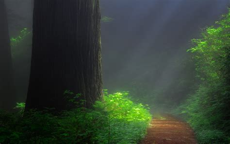 redwood forest trail tree sequoia hd wallpaper