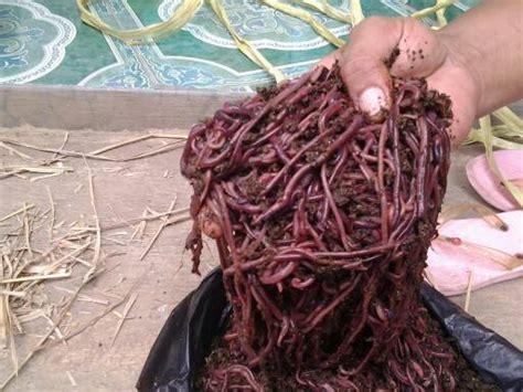 Jual Cacing gambar 10 jual cacing tanah jenis lumbricus rubellus di