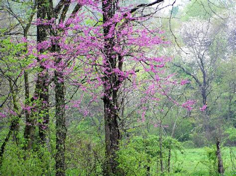 redbud tree spring photograph 8x10 flowering redbud trees by