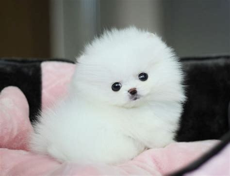 small white pomeranian puppies pomeranian puppies white free hd wallpapers