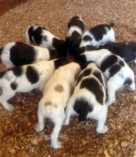 spaniel puppies nc puppies for sale creek preserve llc