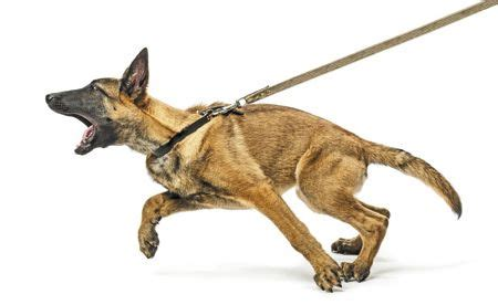 how to not to pull on leash a better walk dogs not to lunge growl and pull on a leash for the