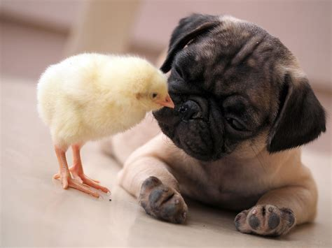and pug pug and are best friends