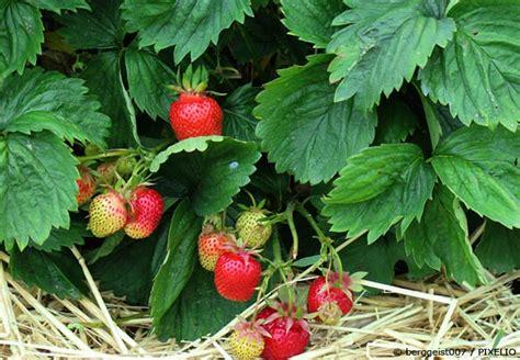 Wann Pflanze Ich Erdbeeren 4534 by Erdbeeren Pflanzen Der Beste Zeitpunkt Und Pflegetipps