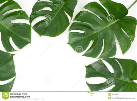 tropical plant leaves tropical plants royalty free stock photo image 18827845