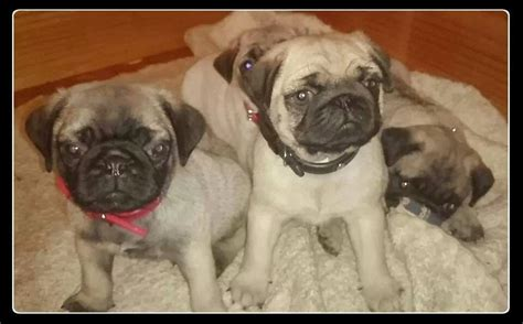 pug puppies for sale hertfordshire traditional chunky pug puppies for sale ware hertfordshire pets4homes