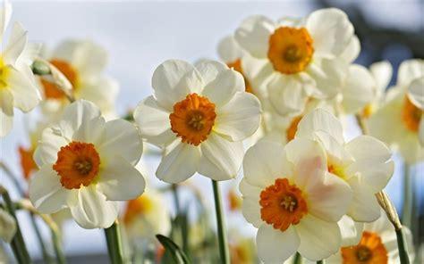 sfondi desktop fiori di primavera scarica sfondi narcisi primavera fiori di primavera