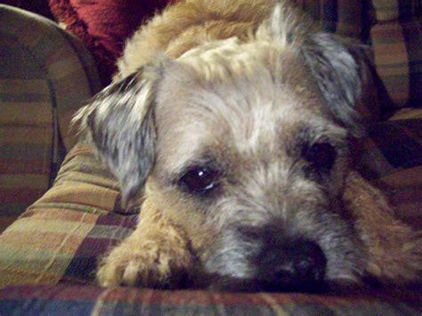scruffy  border terrier dogcast radio