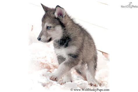 wolf hybrid puppies adoption adopt large silver a wolf hybrid puppy for wolf needs home