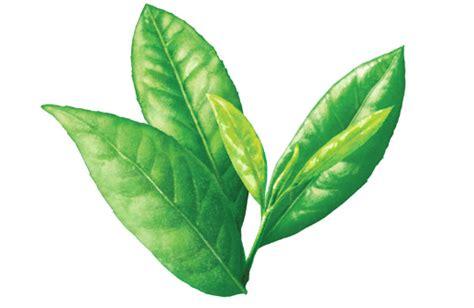Teh Hijau Slimming Tea daftar jenis makanan penurun kolesterol penting bagi kesehatan