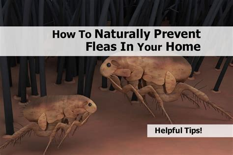 how to rid fleas in house how to naturally prevent fleas in your home