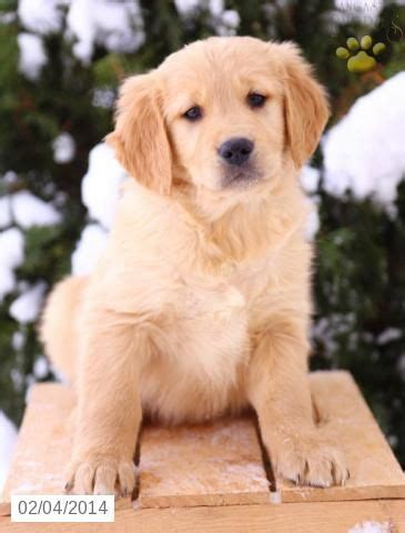 golden retriever puppies for sale spokane 1000 ideas about golden retrievers for sale on golden retrievers