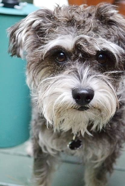 yorkie mixed with schnauzer a 17 month miniature schnauzer terrier mix before the attack by