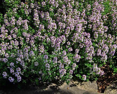State Flower by Gardensonline Thymus Vulgaris