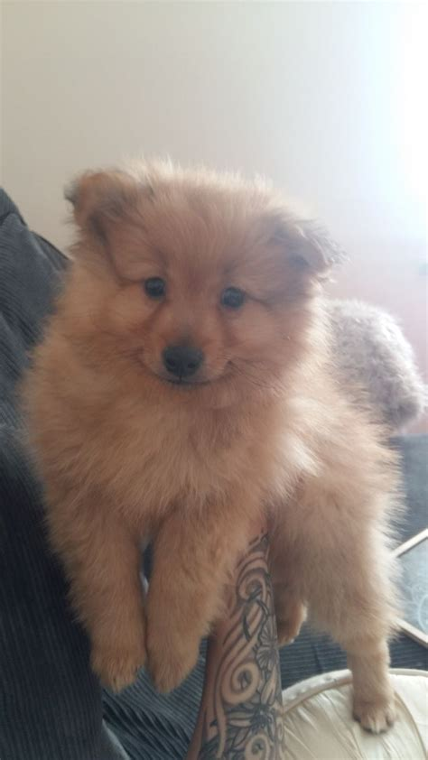 faced pomeranian puppies for sale fox pomeranian puppy salford greater manchester pets4homes