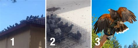 how to trap pigeons for pigeon trapping and pigeon removal las vegas area pigeons be