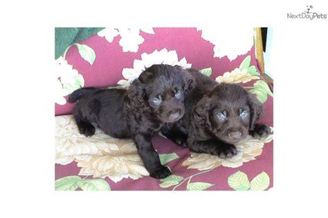 boykin spaniel puppies for sale in nc boykin spaniel puppy for sale near carolina 3f07f446 c6f1
