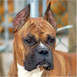 beagle boxer boxer cropped ears