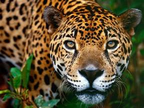 Jaguar Breeds Belize Big Cats List Five Beautiful Species