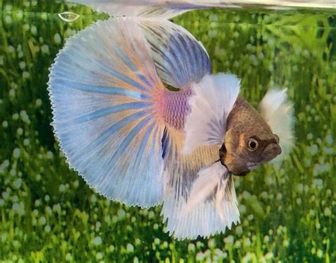 Ikan Cupang Crowntail Royal Blue eh90 thai import yellow white blue dumbo big ear halfmoon hm betta liv fish yellow betta
