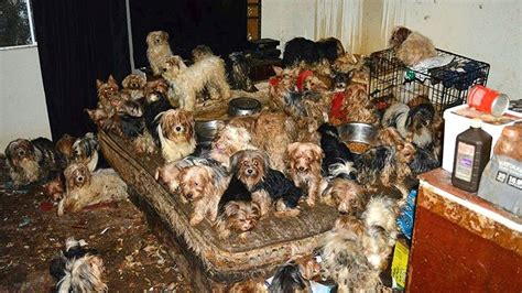 yorkie humane society california pleads guilty after more than 170 dogs found in filthy home fox news