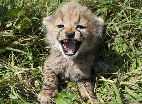 funny picture clip cute baby cheetah kitten mewing picture
