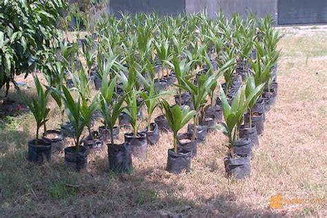 Bibit Kelapa Pandan Wangi bibit kelapa pandan wangi pematang siantar jualo