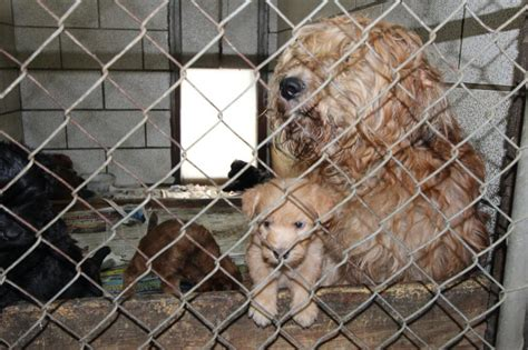 puppy mill laws mamaroneck targets sale of animals from puppy mills theloop