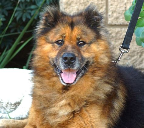 chow chow german shepherd mix chow chow german shepherd all about the dogs