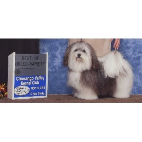 havanese rescue new york accent havanese havanese breeder in arcade new york