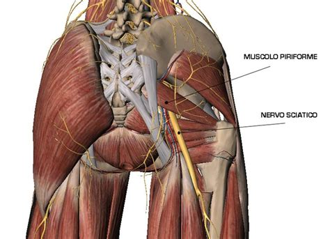 muscolo sedere resultado de imagen de muscolo piramidale ejercicios