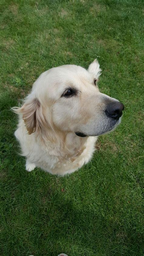 golden retriever puppies surrey beautiful golden retriever puppy addlestone surrey pets4homes
