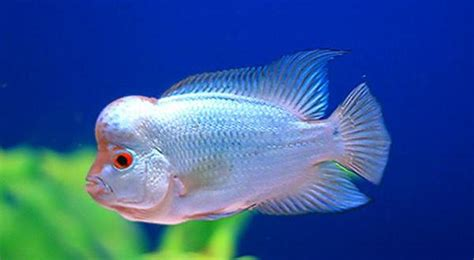 Starla Maxy Ori By Cherry Store buy thai silk flowerhorn world wide fish and pets