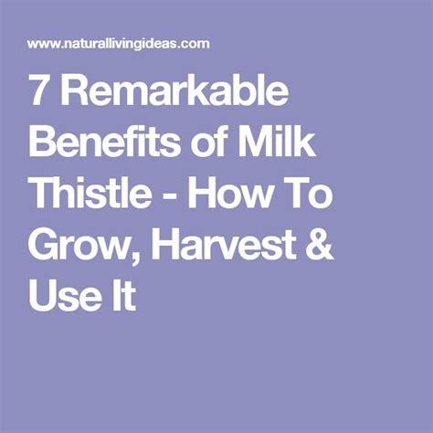 How Should I Take Milk Thistle To Detox Liver by 25 Best Milk Thistle Benefits Ideas On Milk