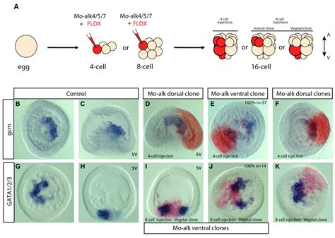 pattern formation in embryogenesis pattern formation in embryonic development nodal and bmp2