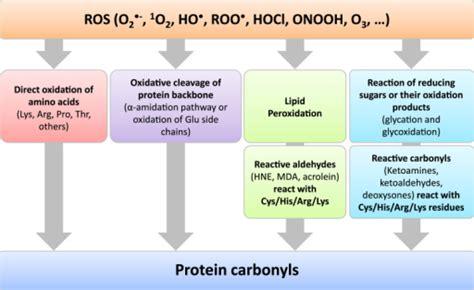 protein oxidation protein oxidation resulting in protein carbonyl formati