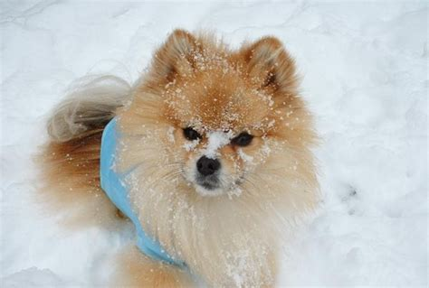 can pomeranians live outside 17 best images about your is cold on chihuahuas cold weather and warm